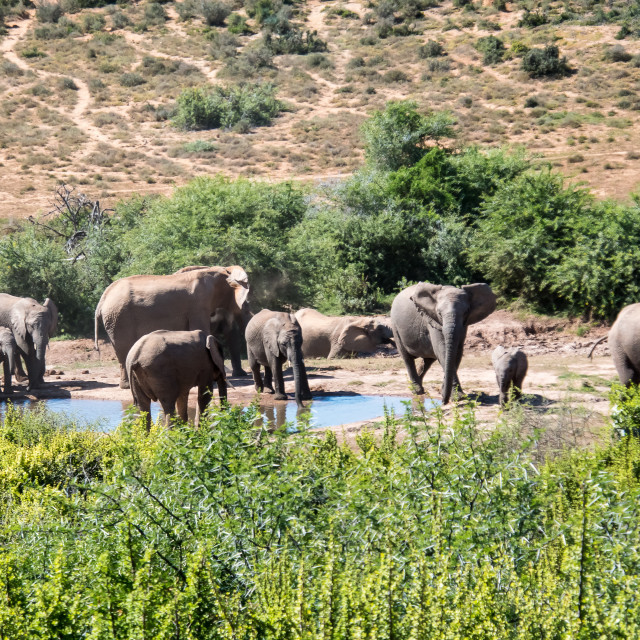 """elephants at the water"" stock image"