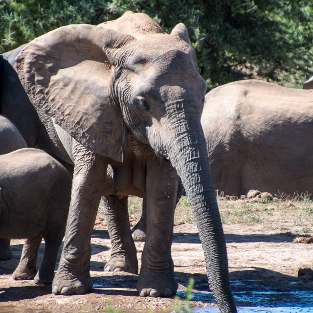 """elephants drinking"" stock image"