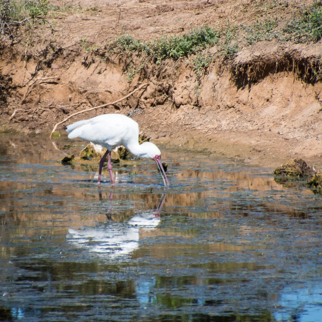 """African Spoonbill"" stock image"