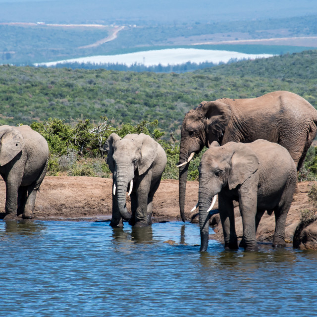 """elephants drinking in panorama"" stock image"