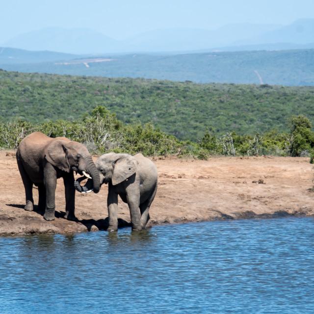 """""""elephant communication"""" stock image"""