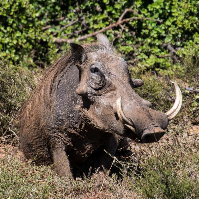 """Common warthog africa"" stock image"