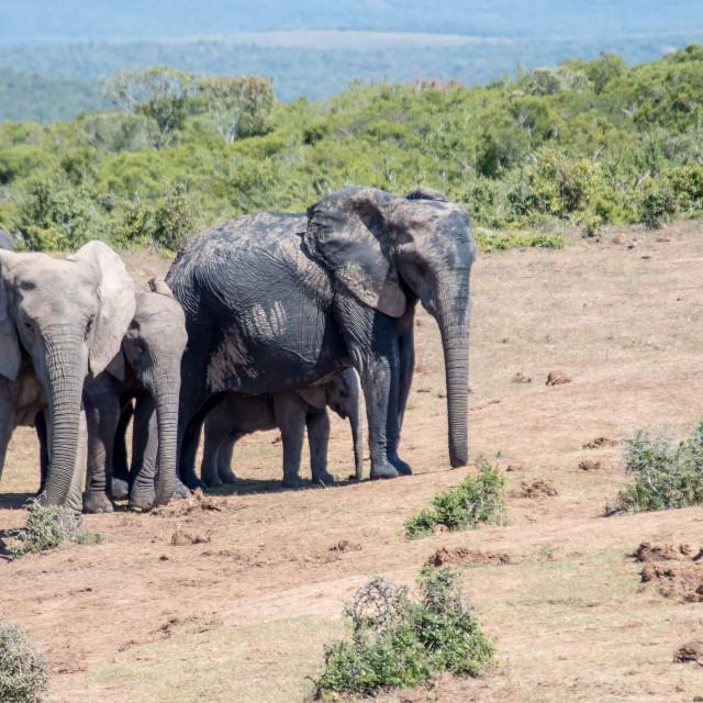 """""""elephant family"""" stock image"""