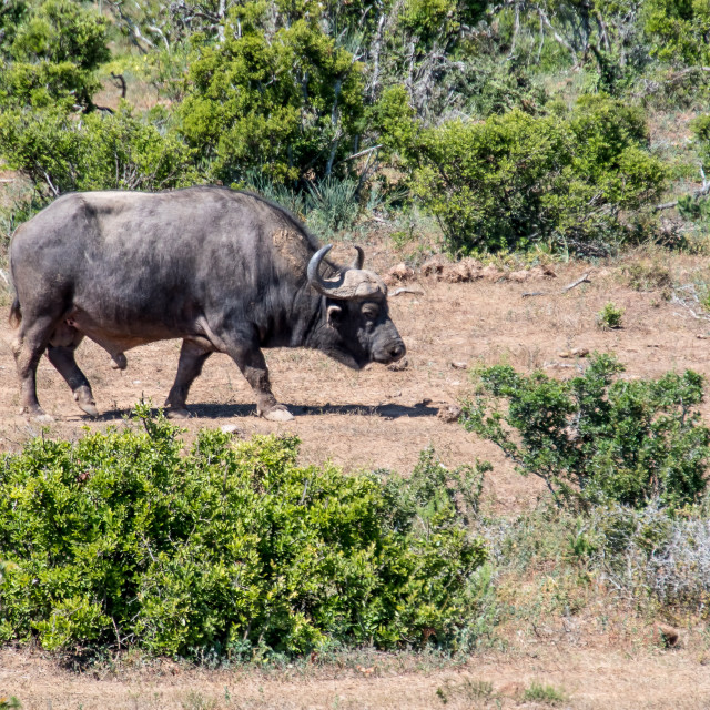 """African buffalo"" stock image"