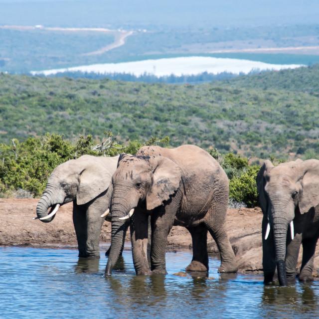 """elephants in panorama"" stock image"
