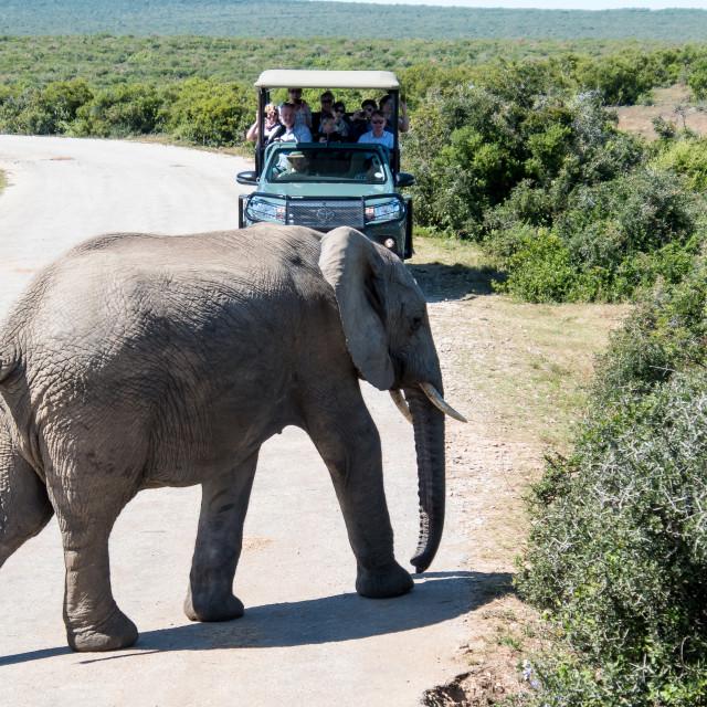 """safari in elephant park"" stock image"