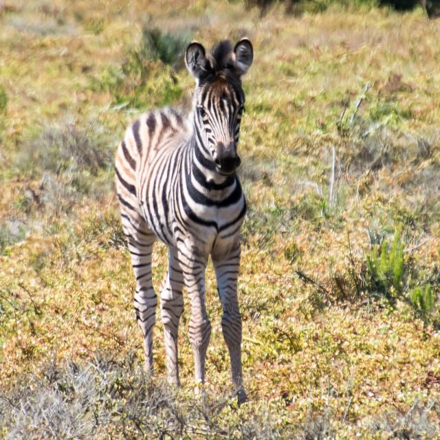 """""""happy zebra foals"""" stock image"""