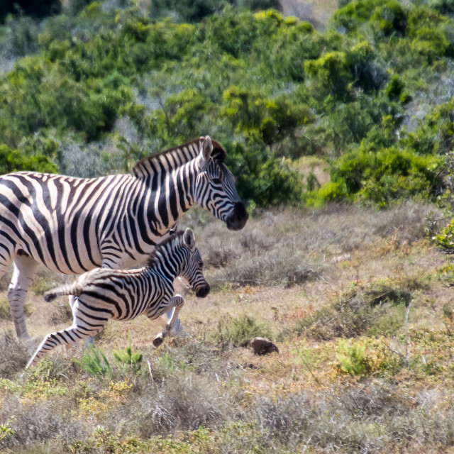 """happy zebra foal"" stock image"