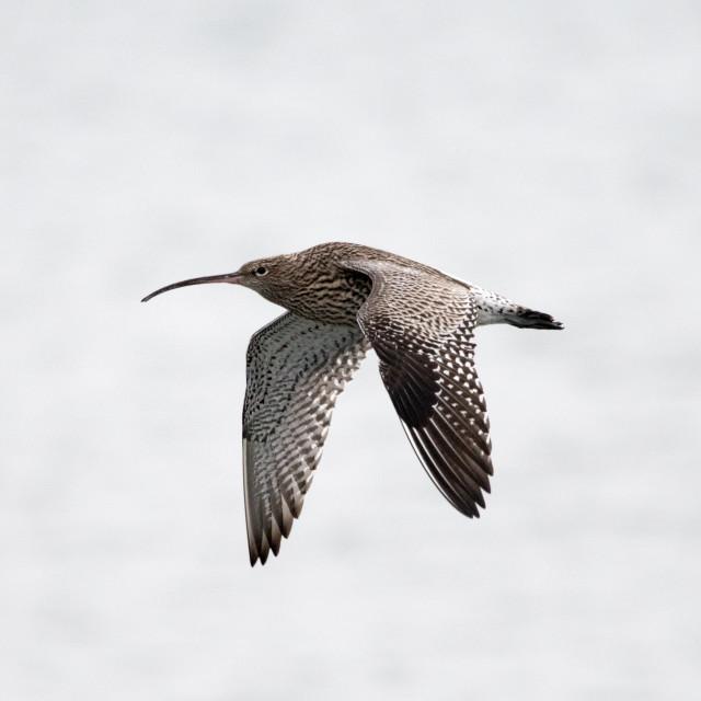 """""""Eurasian Curlew (Numenius)"""" stock image"""