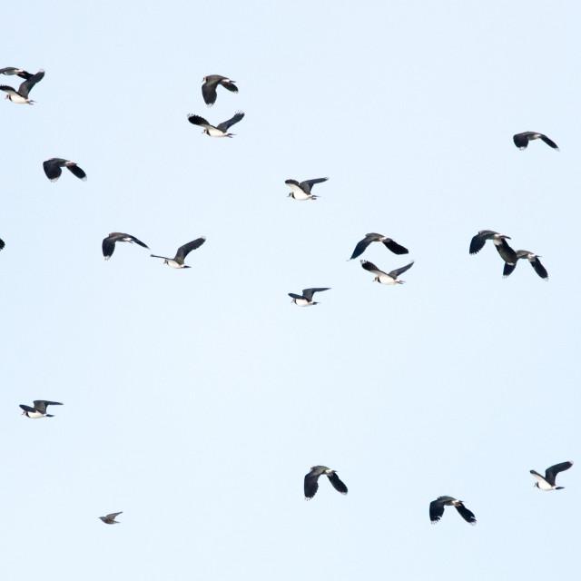 """Lapwings (Vanellinae)"" stock image"