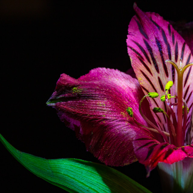"""""""Hot Pink Lily, Fuschia Lily, Magenta Lily"""" stock image"""
