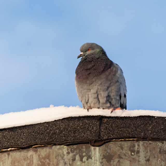 """""""Domestic pigeon on snowy rooftop"""" stock image"""