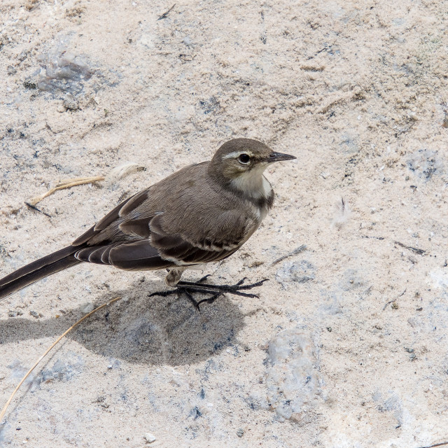 """Cape Wagtail south africa"" stock image"