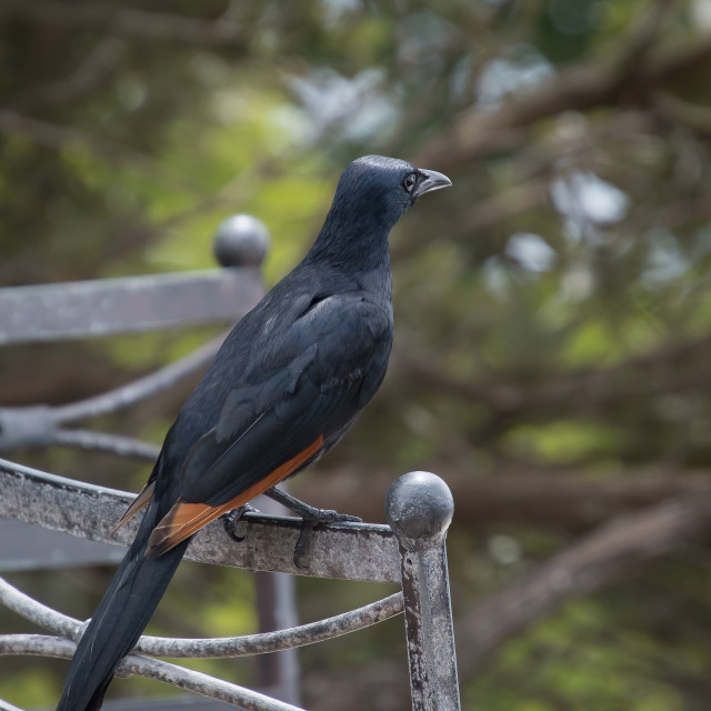 """Red-winged Starling"" stock image"