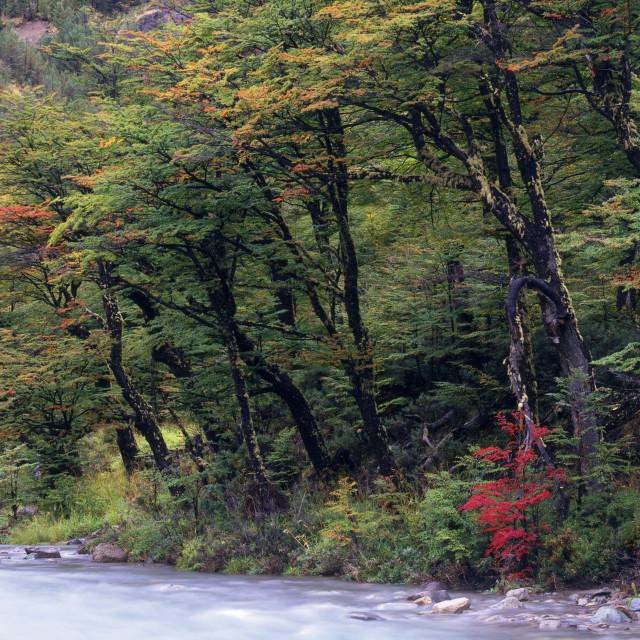 """Autumn Trees on the Carretera Austral"" stock image"