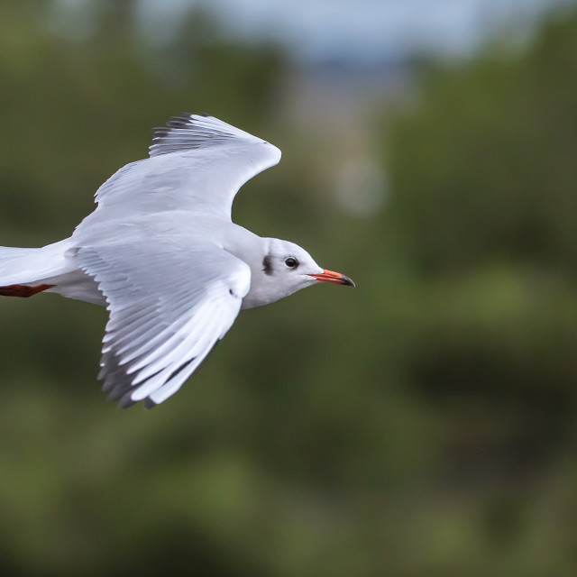"""Black-headed gull - Chroicocephalus ridibundus"" stock image"