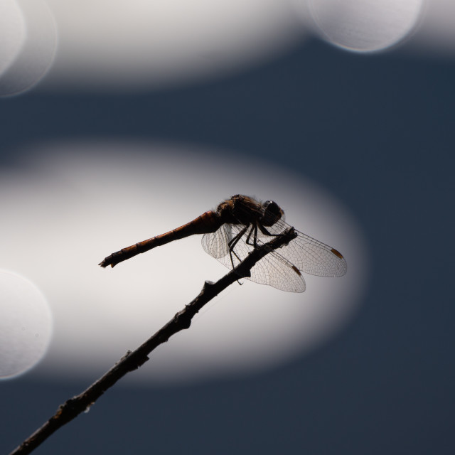 """""""Dragonfly on twig"""" stock image"""