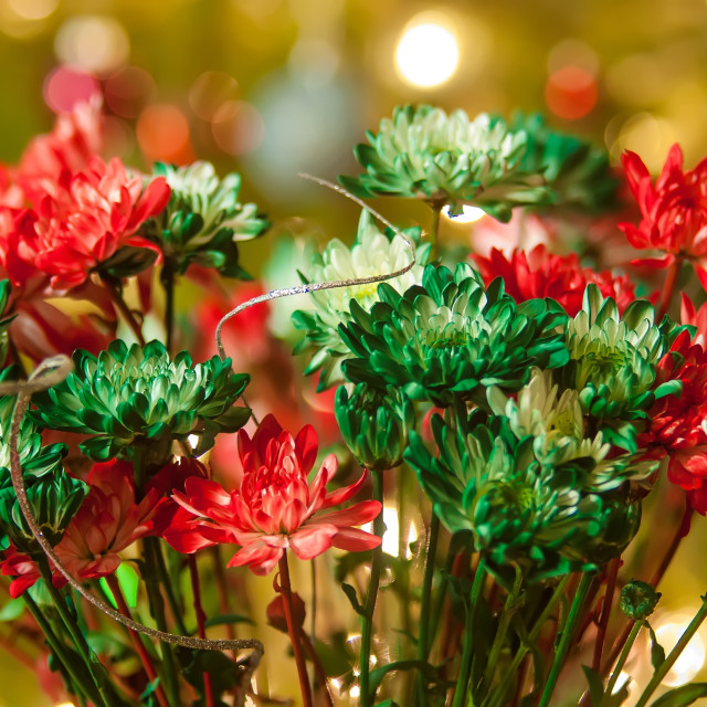 """""""colored daisy flowers with christmas lights in back"""" stock image"""