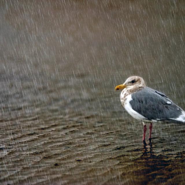 """""""Seagull in Rain"""" stock image"""