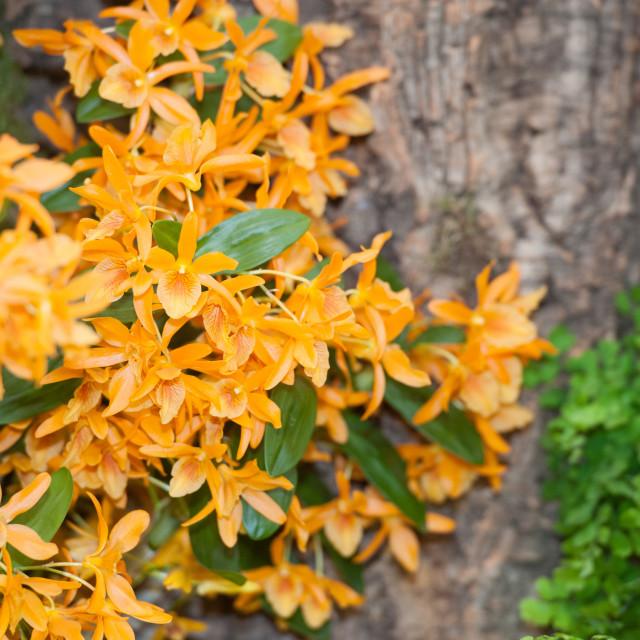 """Dendrobium ""Stardust Firebird"""" stock image"