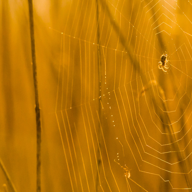 """Spider At Dawn"" stock image"