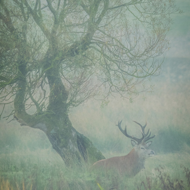 """Resting Red Deer Stag"" stock image"