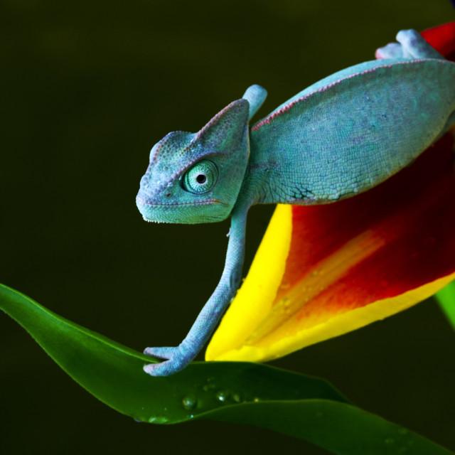 """""""Chameleons focus"""" stock image"""