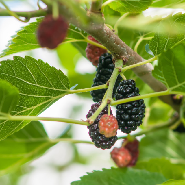 """Ripe mulberry on the branches"" stock image"