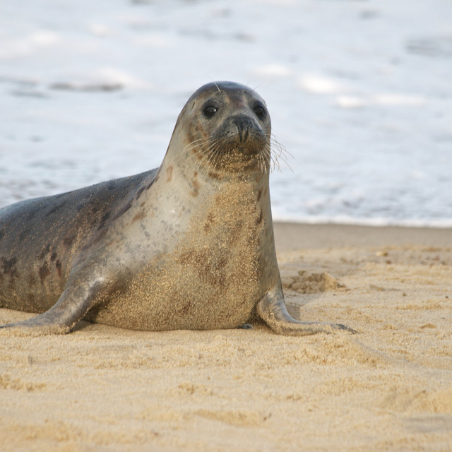 """""""Dudley the seal"""" stock image"""