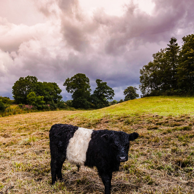 """Belted Galloway"" stock image"