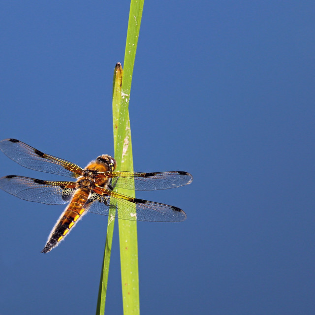 """""""four spotted chaser"""" stock image"""