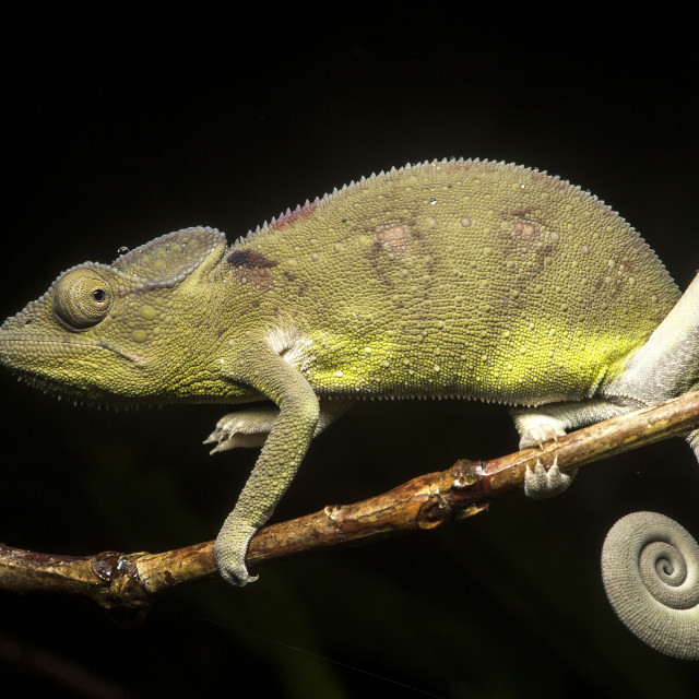 """""""Juvenile Panter chameleon (Calumma parsonii), (Chameleonidae), endemic to..."""" stock image"""