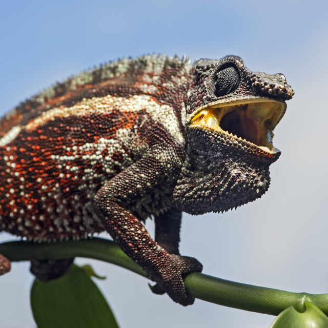 """Panther chameleon (Furcifer pardalis), (Chameleonidae), endemic to Madagascar,..."" stock image"