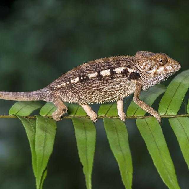 """""""Panther chameleon (Furcifer pardalis)"""" stock image"""