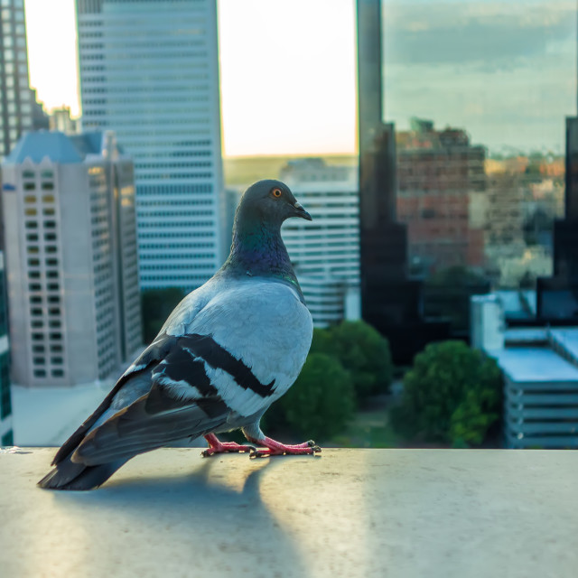 """""""pigeon bird with city skyline in background"""" stock image"""