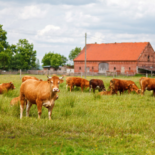 """""""Brown cimmental cow looking at camera against herd of cows grazing on a pasture and barn"""" stock image"""