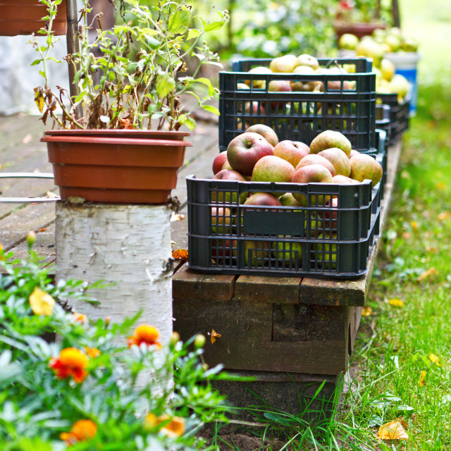 """Harvest time, apples in plastic basket on vintage wooden terrace, idyllic rural scene"" stock image"