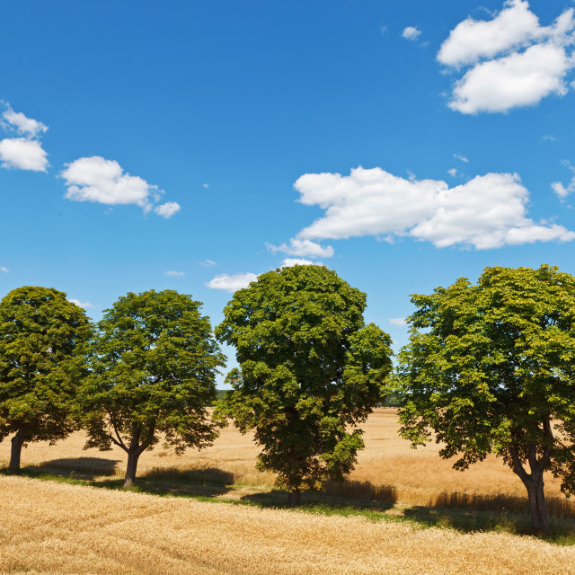 """""""Four trees in a row on the field of mature grain, under blue cloudy sky"""" stock image"""