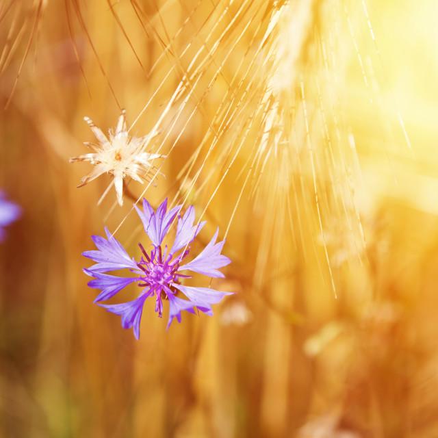 """Cornflower on the field of mature grain against bright sun beam"" stock image"