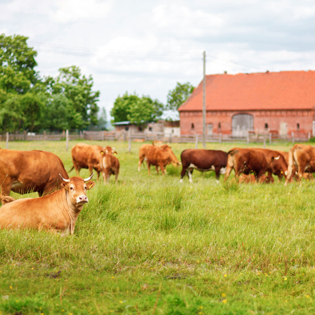 """""""A herd of brown simmental cows grazing on green pasture against barn"""" stock image"""