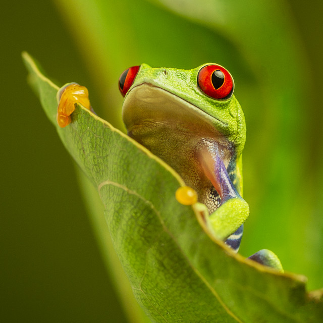 """Green Tree Frog"" stock image"