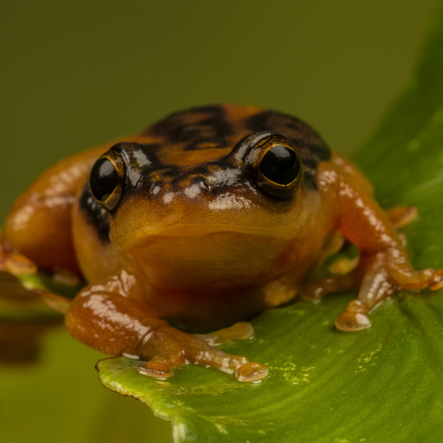 """Sedge Green Tree Frog"" stock image"