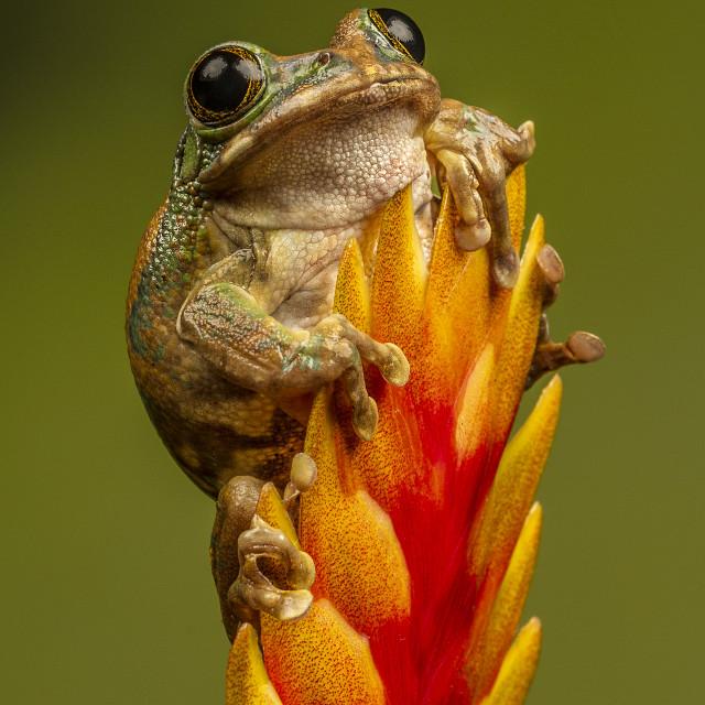 """Peacocka Tree Frog"" stock image"