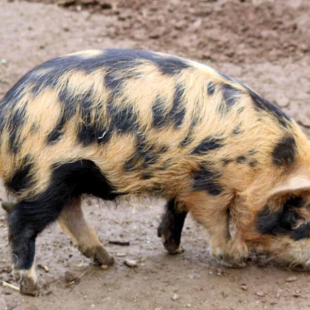 """Simply Pig"" stock image"