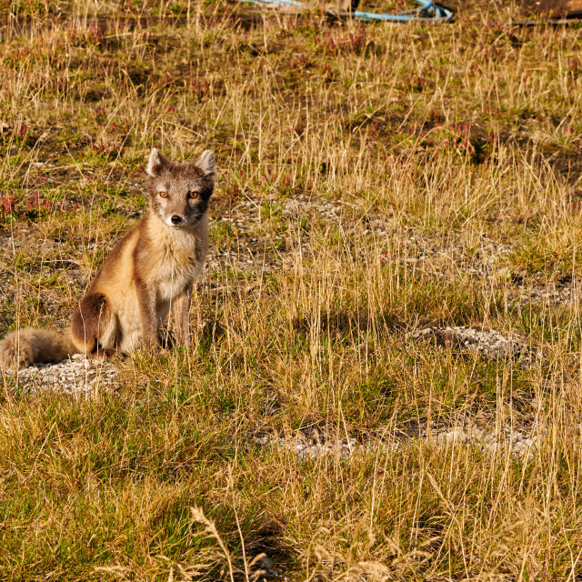 """Arctic fox (Vulpes lagopus)"" stock image"