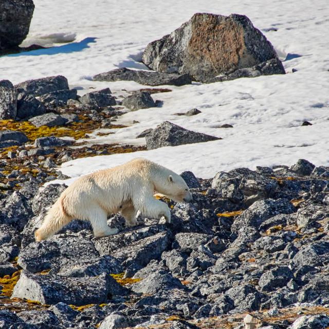 """polar bear (Ursus maritimus)"" stock image"