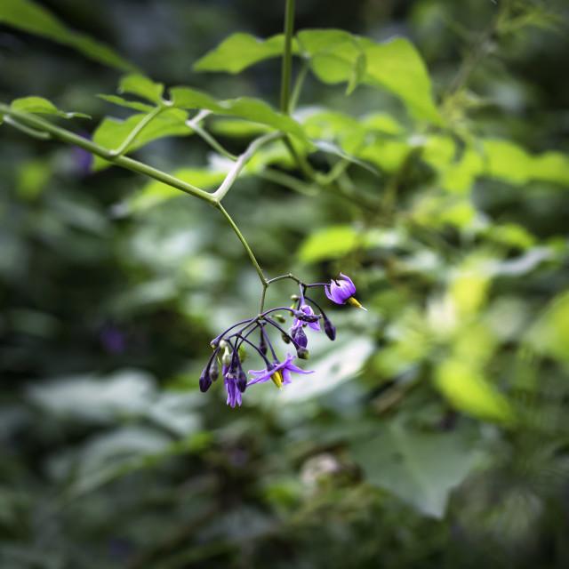 """Purple flowers of bittersweet"" stock image"