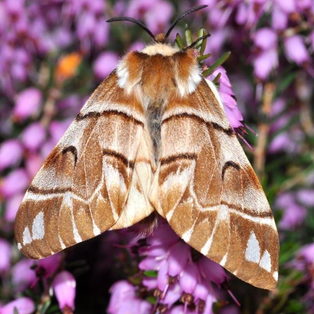 """Kentish Glory moth"" stock image"