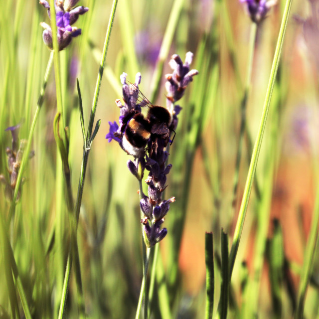 """Bumblebee on lavender"" stock image"