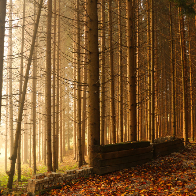 """Natural Forest of Spruce Trees, Sunbeams through Fog create myst"" stock image"